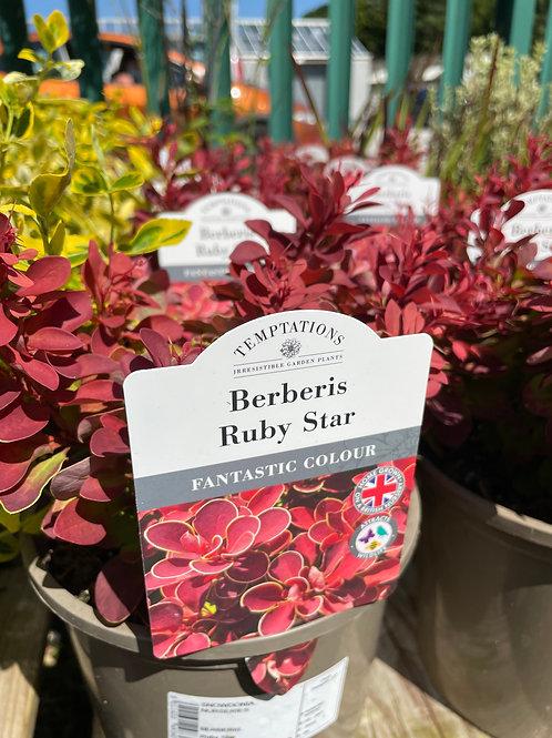 Berberis Ruby Star