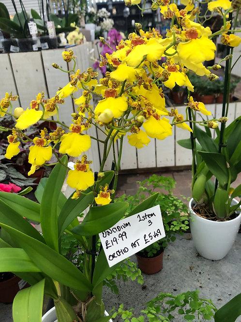 Oncidium Orchid (Yellow) in white ceramic pot