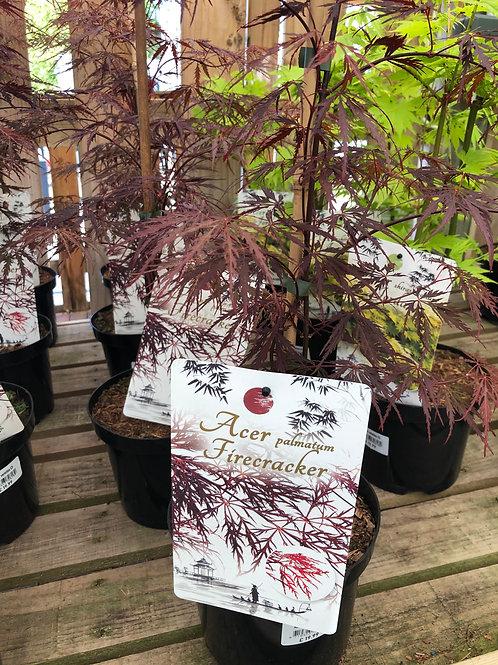 Acer palmatum Firecracker