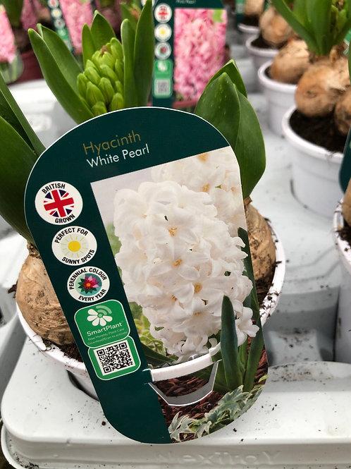 White Pearl Hyacinth Large Pot