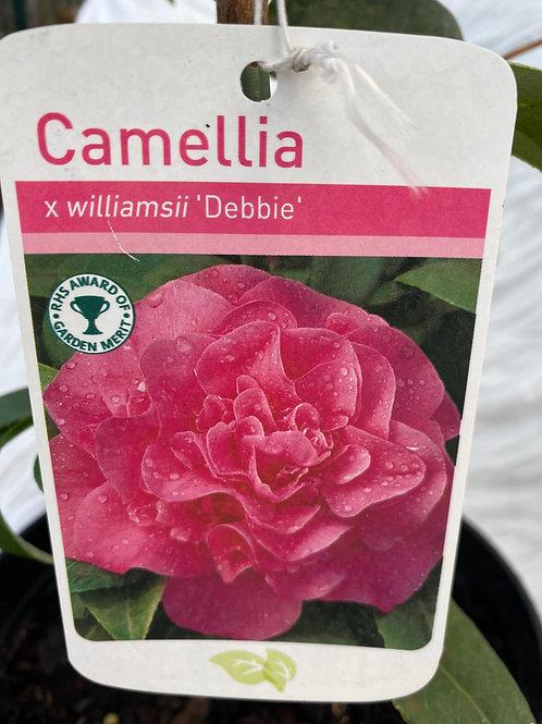 Camellia - Debbie (3L)
