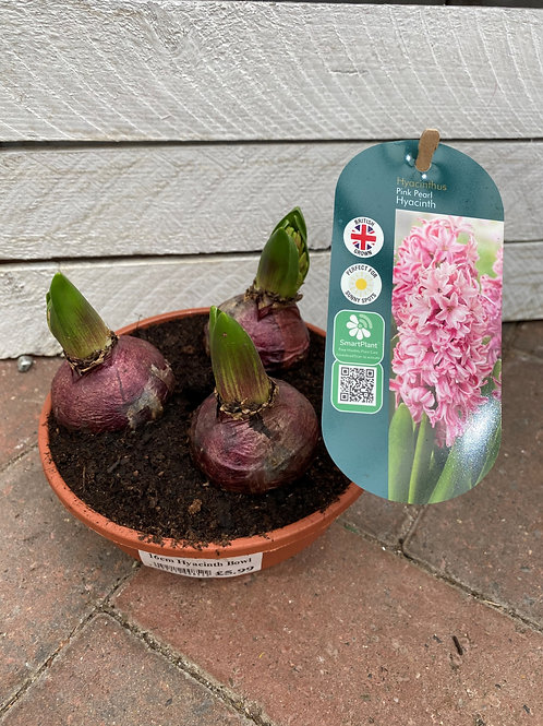 Hyacinth Bowl Pot - Pink Pearl