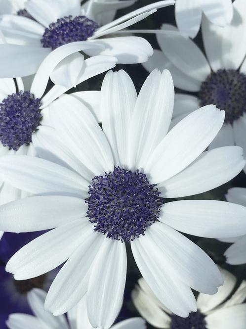 Senetti - White x 2