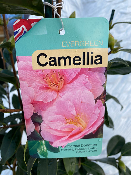Camellia - Donation