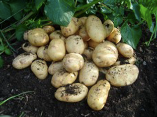 International Kidney Seed Potato 2.5kg