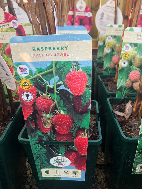 Raspberry - Malling Jewel