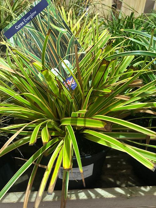 Carex 'Everglow'