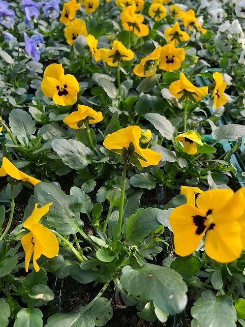 Yellow Viola Bedding Plant