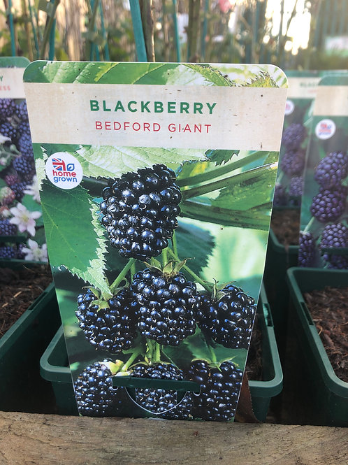 Blackberry - Bedford Giant