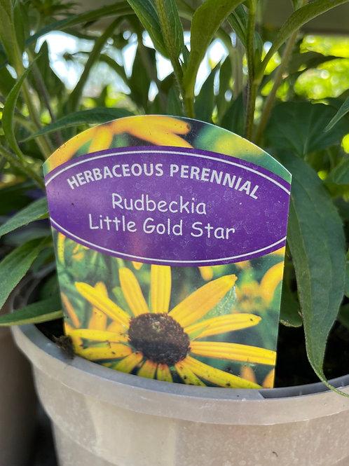 Rudbeckia 'Little Gold Star'