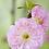 Thumbnail: Prunus tri. 'Rosenmund'