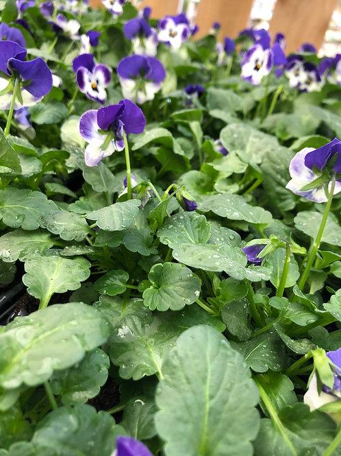 Winter Viola Delft Blue