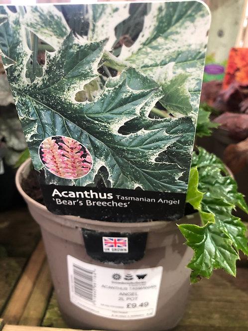 Acanthus Tasmanian Angel 'Bear's Breeches'