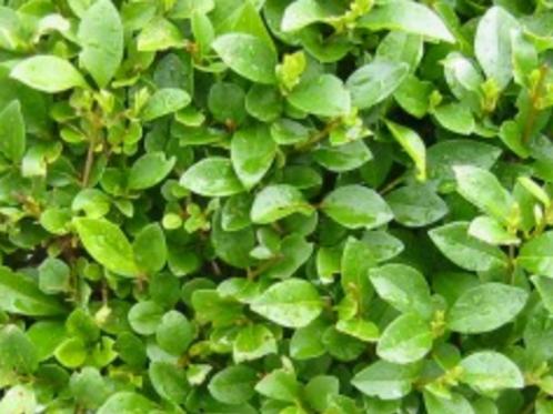Green Privet