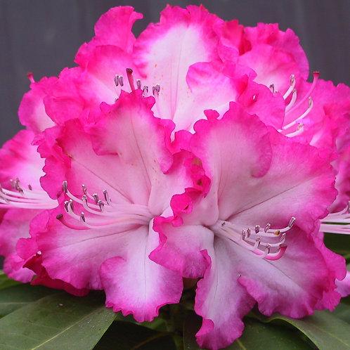 Rhododendron XXL 7L