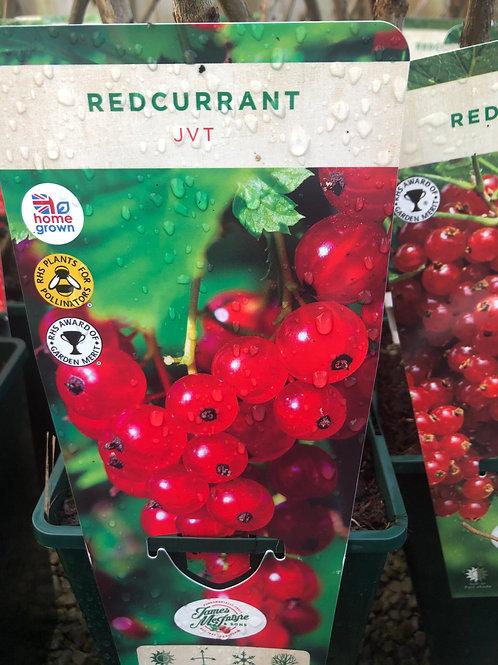 Redcurrant - JVT