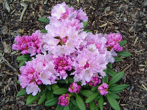 Rhododendron Caroline Allbrook