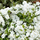 Thumbnail: Exochorda 'The Bride'