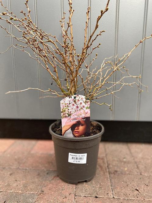 Prunus inc. 'Kojou-no-mai'