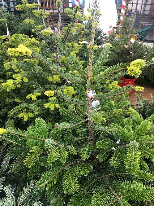 Nordman Potted Christmas Tree