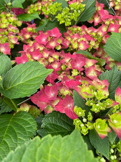 Hydrangea Macrophylla Deep Pink