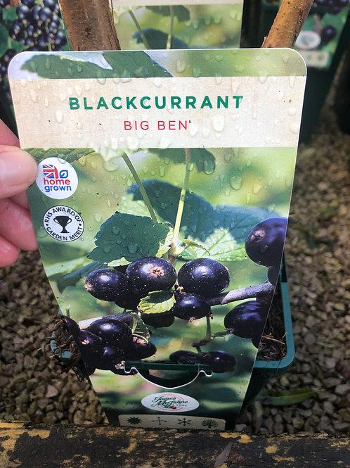 Blackcurrant - Big Ben