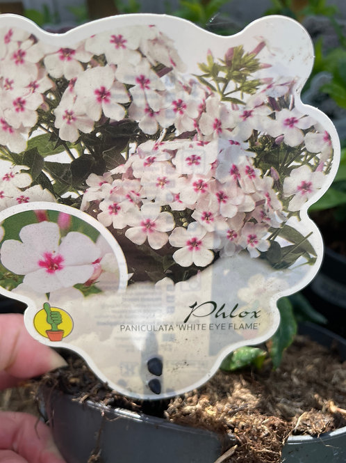 Phlox Paniculata 'White Eye Flame'