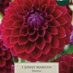 Dahlia  Jowey Marilyn