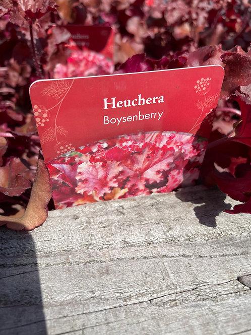 Heuchera Boysenberry