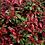 Thumbnail: Photinia fr. Robusta Compacta Standard