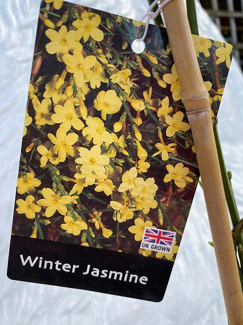 Winter Jasmine (3L)