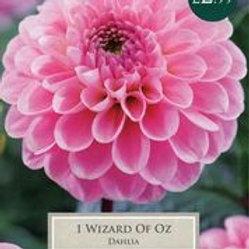 Wizard of Oz Dahlia