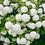 Thumbnail: Viburnum opulus Roseum