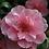 Thumbnail: Camellia - Donation