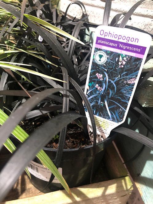 Ophiopogaon Nigrescens AGM