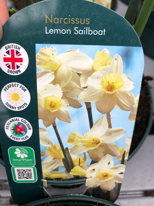 Narcissus Lemon Sailboat