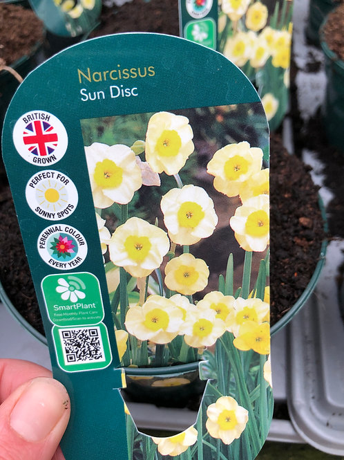 Narcissus Sun Disc Large Pot
