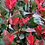 Thumbnail: Photinia Little Red Robin