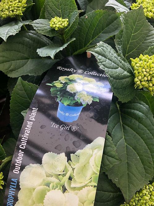 Hydrangea Macrophylla 'Ice Girl'