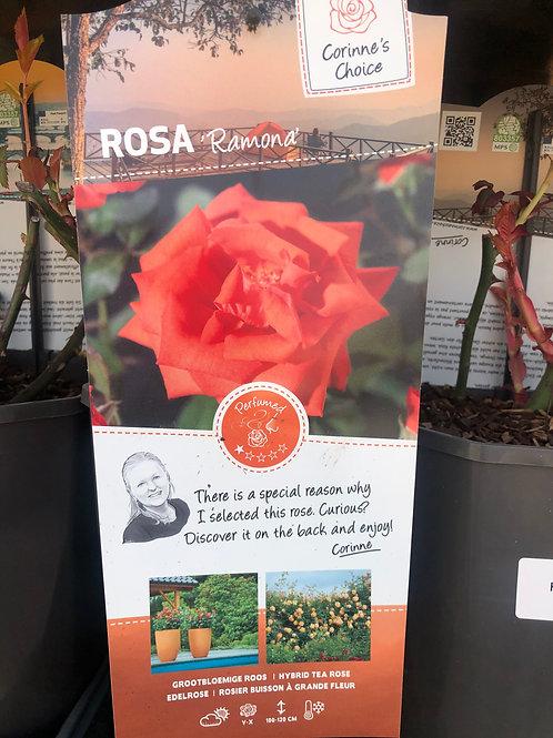 Rosa 'Romana' Floribunda Rose'