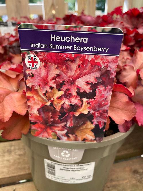 Heuchera Indian summer Boysenberry