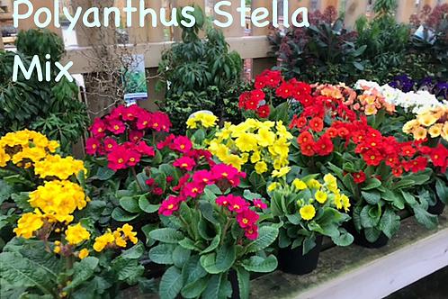 Polyanthus Stella Mix 2 for £10
