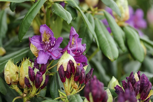 Rhododendron Marcel Menard 5L