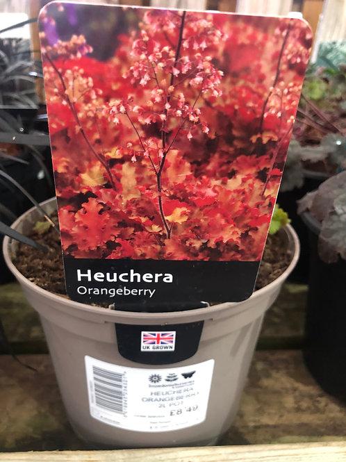 Heuchera 'Orangeberry'