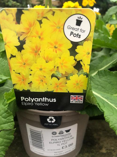 Polyanthus Elpiro Yellow