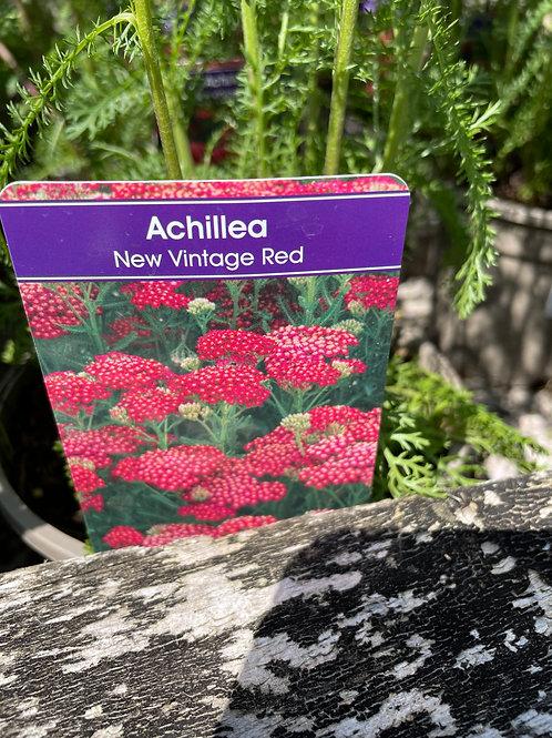 Achillea 'New Vintage Red'