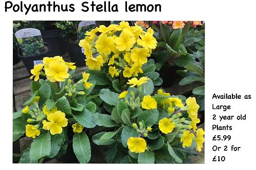 Polyanthus Stella Yellow