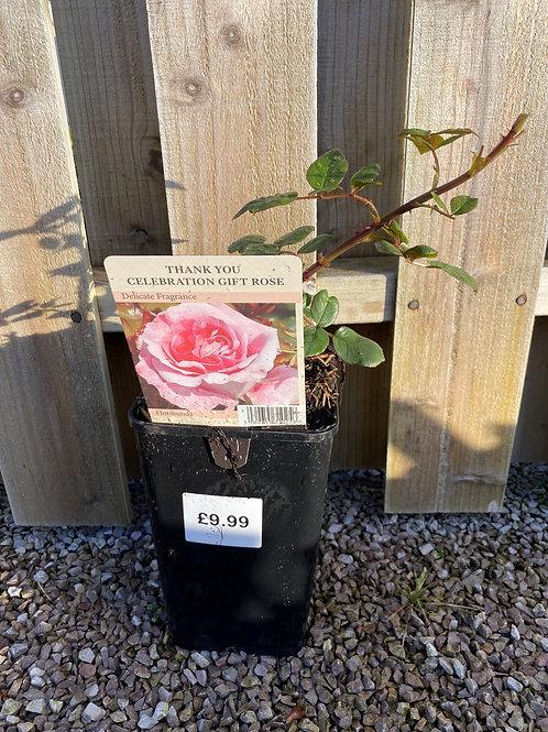 Celebration Gift Rose - Thank You