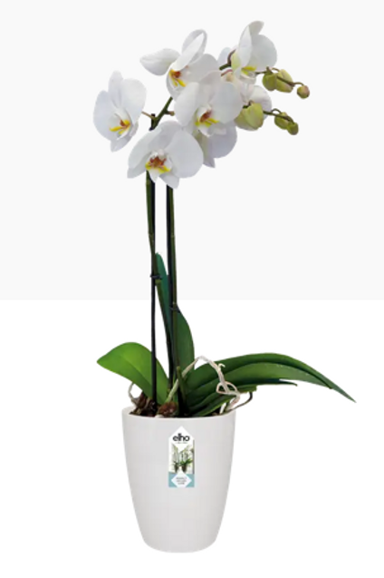 Brussels Orchid High 12.5cm