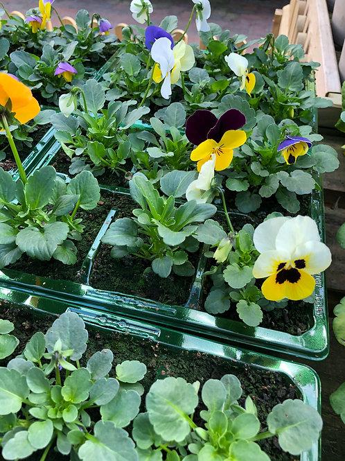 Pale Mixed Viola Bedding Plant